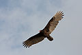 Cathartes aura -Florida -USA -flying-8.jpg