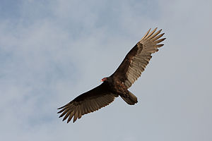 Cathartes aura English: Turkey Vulture flying ...