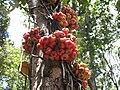 Cauliflorus tree, Kokoda Track, Papua New Guinea.jpg