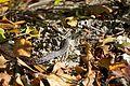 Cayman Racer Snake.jpg
