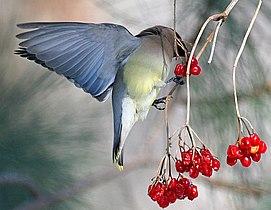 CedarWaxwingeatingberries09.jpg