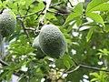Ceiba speciosa5.JPG