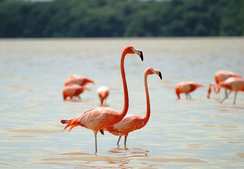 Flamingos in Celestún; Bild: Elelicht