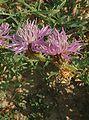 Centaurea aspera2.jpg