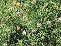 Centaurea calcitrapa (14584555442).jpg