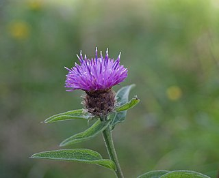 <i>Centaurea nigra</i> species of plant