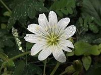 Cerastium fischerianum 2.JPG