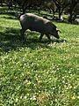 Cerdo Ibérico.jpg