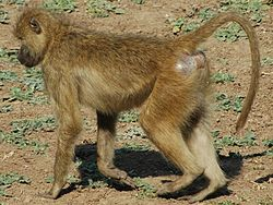 ChacmaBaboon Walking.JPG