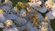 File:Chaetostomella cylindrica in copula - 2012-07-24.ogv