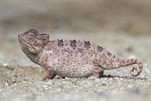 Namaqua chameleon - Image: Chamaeleo namaquensis (Walvis Bay)