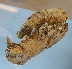 Chasmaporthetes - C. lunensis skull