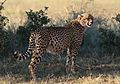 Cheetah, Acinonyx jubatus, at Pilanesberg National Park, Northwest Province, South Africa. (27551803356).jpg