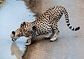 Cheetah Needed a Drink After Breakfast (48538484581).jpg