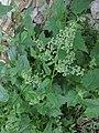 Chenopodium hybridum plant (5).jpg