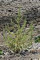 Chenopodiumbotrys.jpg