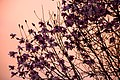 Cherry Blossoms, Arbutus Ridge Kerrisdale Mackenzie Heights Vancouver (4402339261).jpg