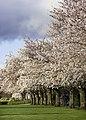 Cherry Trees near sunset (8581402439).jpg
