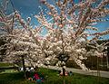 Cherry blossom festival (26458369125).jpg