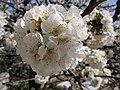 Cherry blossoms (3427586960).jpg