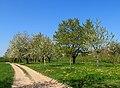 Cherry trees - Sasbach 02.jpg