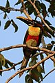 Chestnut-eared aracari (Pteroglossus castanotis).JPG