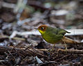 Chestnut-headed Tesia.jpg