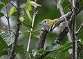 Chestnut-sided Warbler (30372510088).jpg