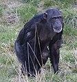 Chimpanzee 2d (5512629466).jpg
