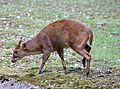 Chinesischer Muntjak Muntiacus reevesi Tierpark Hellabrunn-1.jpg