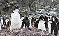Chinstrap Penguins Half Moon Island Antarctica 6 (32394794657).jpg