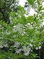 Chionanthus virginicus - New York Botanical Garden.jpg