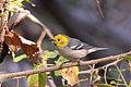 Chipe Cabeza Amarilla, Hermit Warbler, Dendroica occidentalis (13362827574).jpg