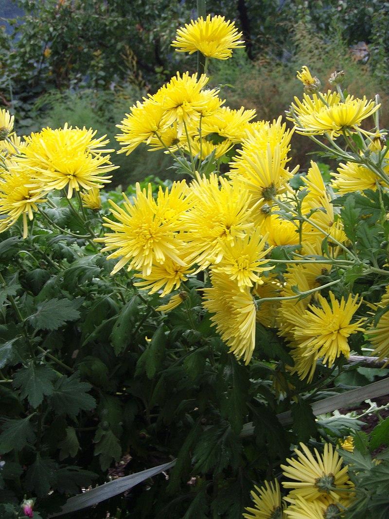 chrysanthemum x morifolium - photo #26