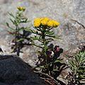 Chrysanthemum rupestre (flower s3).jpg