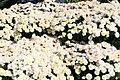 Chrysanthemum x grandiflorum Roxanne 6zz.jpg
