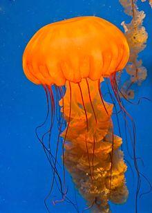 Jelatang laut (Chrysaora quinquecirrha), salah satu anggota Semaeostomeae