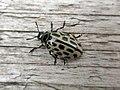 Chrysomela vigintipunctata (Chrysomelidae) - (imago), Arnhem, the Netherlands.jpg