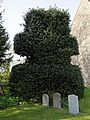 Church of St Mary Little Laver Essex England - churchyard holly tree topiary.jpg