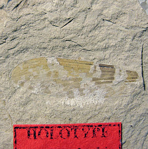"""Insect wing - Holotype wing of the extinct Cimbrophlebia brooksi. 49.5 Million Years old; """"Boot Hill"""", Klondike Mountain Formation, Washington, USA."""