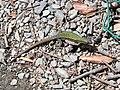 Cinque Terre Lizard (4711622741).jpg