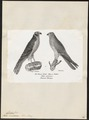 Circus cineraceus - 1809-1845 - Print - Iconographia Zoologica - Special Collections University of Amsterdam - UBA01 IZ18300235.tif