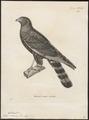 Circus maurus - 1700-1880 - Print - Iconographia Zoologica - Special Collections University of Amsterdam - UBA01 IZ18300225.tif