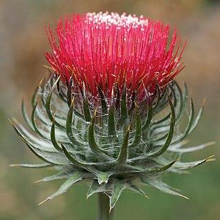 <i>Cirsium occidentale</i> species of plant