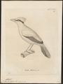 Cissa thalassina - 1700-1880 - Print - Iconographia Zoologica - Special Collections University of Amsterdam - UBA01 IZ15700055.tif