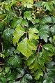 Cissus alata Leaves.JPG