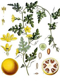 Citrullus colocynthis - Köhler–s Medizinal-Pflanzen-040.jpg