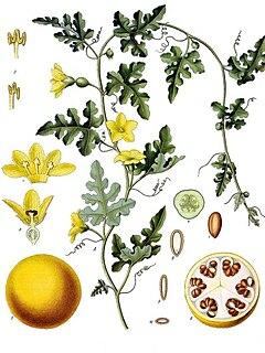 <i>Citrullus colocynthis</i> species of plant in the family Cucurbitaceae
