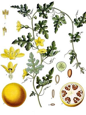 Bitter-Melone (Citrullus colocynthis), Illustration.