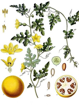 Citrullus colocynthis - Citrullus colocynthis from Koehler's Medicinal-Plants (1887).